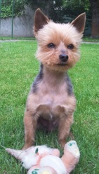 Whisky, chien Yorkshire Terrier