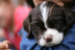 Whisky, chien Springer anglais