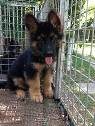 Whisky, chien Berger allemand