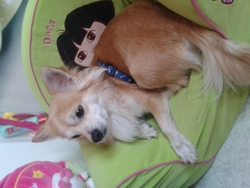 Whisky, chien Chihuahua