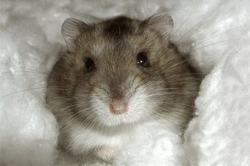 Whisky, rongeur Hamster