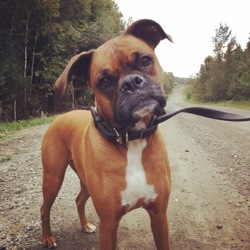 Whisky, chien Boxer