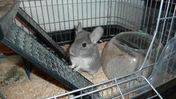 Whisper Lilo, rongeur Chinchilla