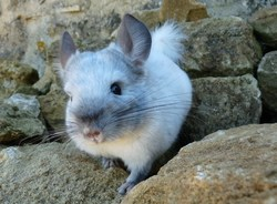 White, rongeur Chinchilla
