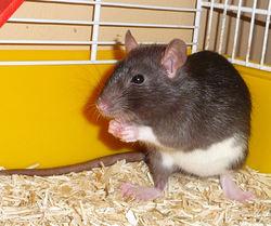 Whoopi, rongeur Rat
