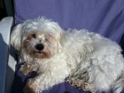 Whoopie, chien Bichon maltais