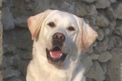 Whysky, chien Labrador Retriever