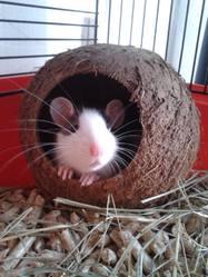 Wifi , rongeur Rat