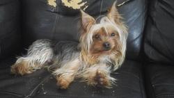 Wiket, chien Yorkshire Terrier