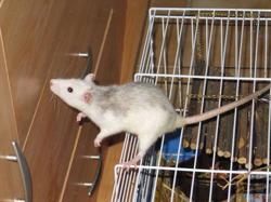 Wiko, rongeur Rat