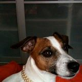 Will, chien Jack Russell Terrier