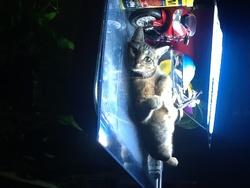 Willa, chat Gouttière
