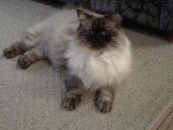 Willi, chat Siamois