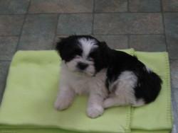 Willi, chien Shih Tzu