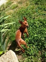 Willo, chien Pinscher