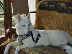 Beautifull-Willow, chien Husky sibérien