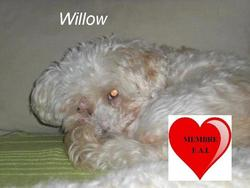 Willow, chien Bichon havanais