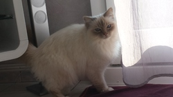 Willow, chat Birman