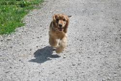 Willow Dans Les Etoiles, chien Cocker anglais