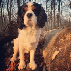 Willow, chien Cavalier King Charles Spaniel