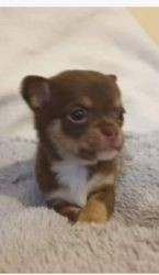 Willow, chiot Chihuahua