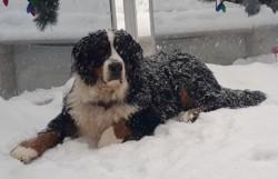 Willow, chien Bouvier bernois