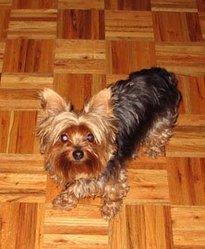 Willow Alias Loulou,  Décédé, chien Yorkshire Terrier