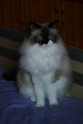 Willow, Vahiné, chat Ragdoll