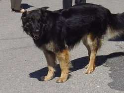 Willy, chien Berger allemand