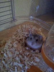 Willy, rongeur Hamster