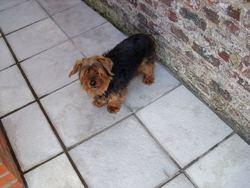 Willy, chien Yorkshire Terrier