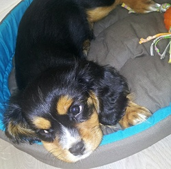 Willy, chien Cavalier King Charles Spaniel
