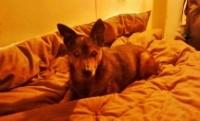 Willy, chien Pinscher
