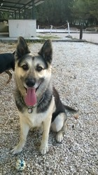 Willy, chien Berger allemand