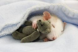 Wiloow, rongeur Rat