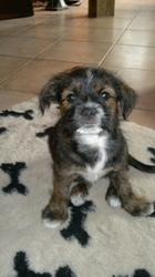 Willow, chien Border Terrier