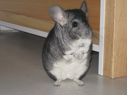 Wilson, rongeur Chinchilla
