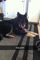 Wilson, chien