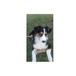 Wilson, chien Berger australien