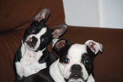 Wilson, chien Terrier de Boston