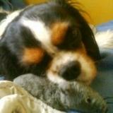 Wina, chien Cavalier King Charles Spaniel