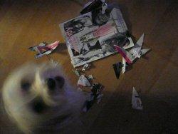 Winky, chien Bichon havanais