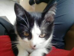 Winnelle, chat Européen