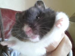 Winni, rongeur Hamster