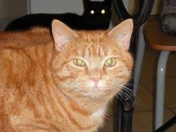 Winnie, chat Européen
