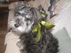 Winnie, chien Schnauzer