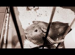 Winnie, rongeur Cochon d'Inde