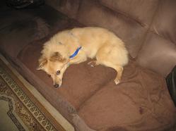 Winnie, chien Épagneul nain continental