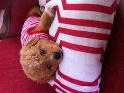 Winnie, chien Caniche