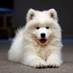 Winnie, chien Samoyède